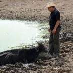 Campesino intentado salvar su vaca que buscaba agua en el atajado (Foto de la Alcaldía de Pasorapa)