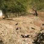 Una vaca muerta por falta de agua en rio seco (Foto de la Alcaldía de Pasorapa)