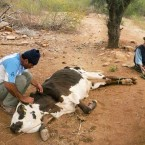Vaca con suero por falta de agua (Foto de la Alcaldía de Pasorapa)