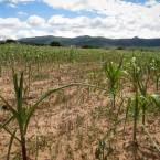 Maiz cultivado perdido (Foto de Leny Olivera)