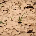 Maiz pequeño perdido por falta de agua (Foto de Leny Olivera)