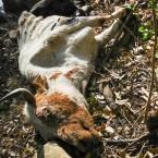 Vaca muerta por hambre y sed (Foto de la Alcaldía de Pasorapa)